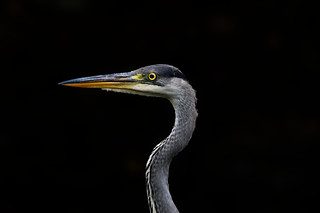 Portrait of a Grey Heron