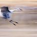 Sandhill Crane by nicolesy