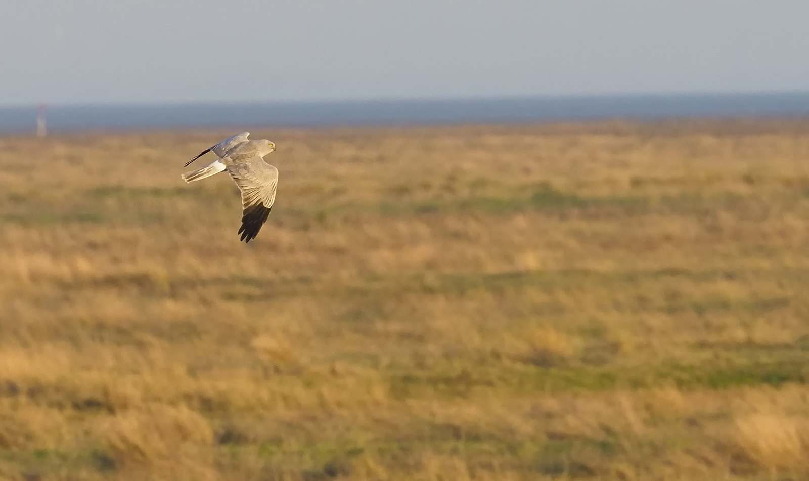 Record shot of male Hen Harrier