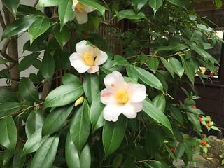 侘助 Camellia wabisuke