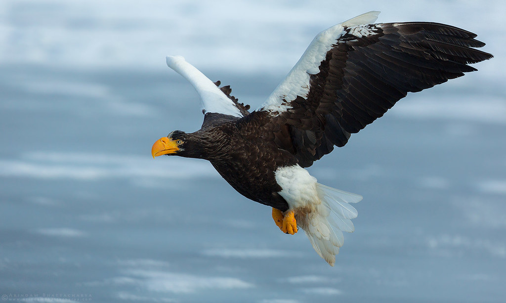 Steller's Sea Eagle on the packed ice in Rausu, eastern Hokkaido Japan by Arindam Bhattacharya