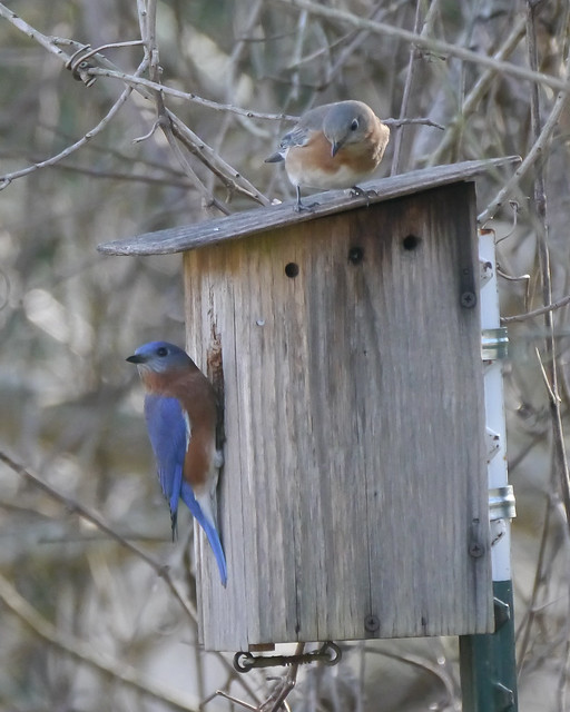 Eastern Bluebirds on Nest Box - 1