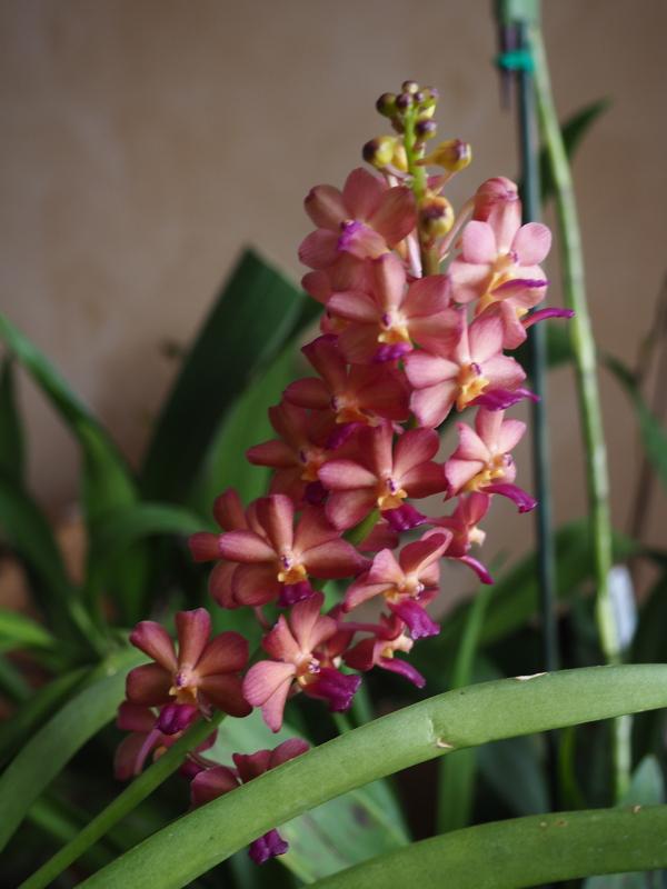 Les Orchidées chez Cloo en 2018 - Page 23 45409683114_59e2057096_o