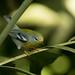 Cigüita Parula, (Parula americana), Northern Parula