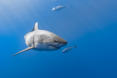 """Image by George Probst (sharkpix) and image name Johnny on the spot photo  about """"I haven't taken a good shark photo since 2016."""" It's a thought that has continuously roamed through my mind over the past two seasons at Guadalupe. While my main goal in photographing the beautiful white sharks of Isla de Guadalupe is to capture each individual's unique characteristics, I"""