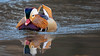 Central Park Mandarin Duck