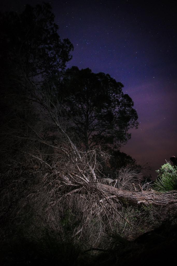 Noche estrellas y gineta
