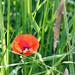 Hidden Poppy