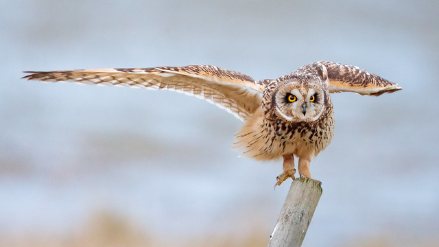Short-eared owl (Explored), Canon EOS-1D X MARK II, Canon EF 800mm f/5.6L IS