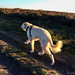 Striding out with the sun shining through his tail