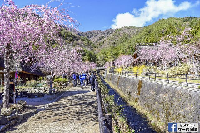 西湖療癒之鄉根場櫻花-39