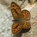 Lasiommata megera male (Wall Brown) by Simon in the Alpujarras