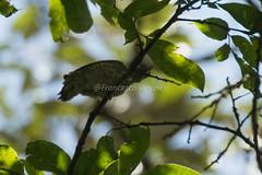 Buff-spotted Woodpecker - Kakamega Forest - Kenya CD5A8923