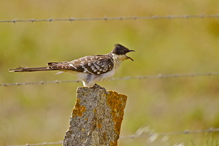 GREAT SPOTTED CUCKOO ( Male )