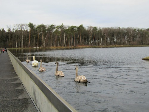Swans on lake next to trail of Cycling Through Water in Bokrijk