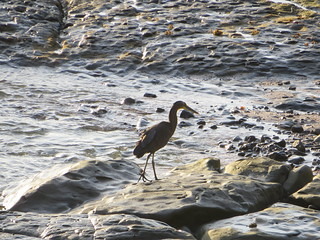 Egret on Shore, Villa Caletas, Costa Rica