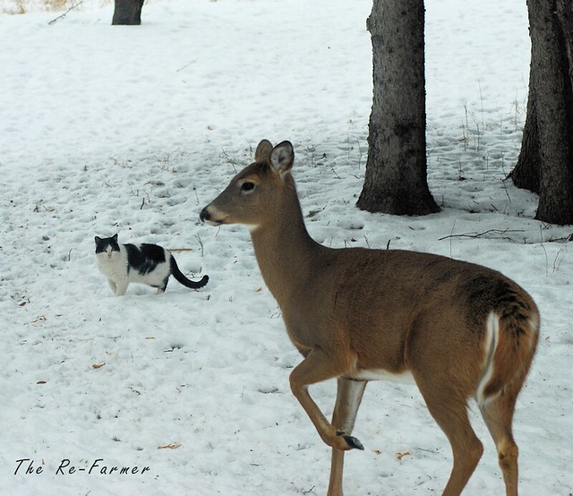 2019-01.white.tail.deer.ferdinand.1