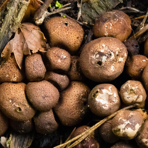 Earthball clump in decaying stump