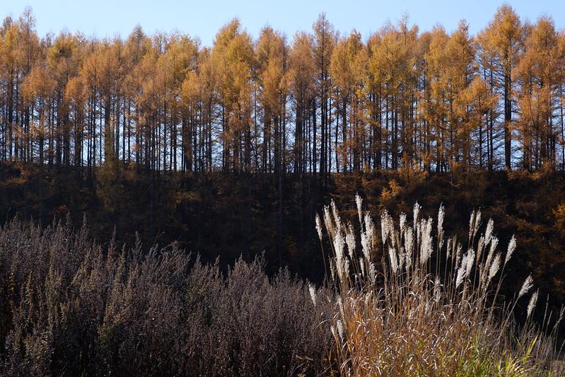 秋の美瑛の紅葉したカラマツ林