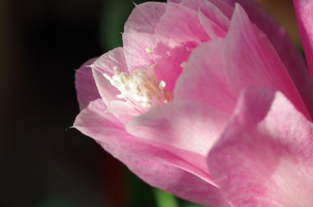 Kaktusblüte (Epiphyllum)