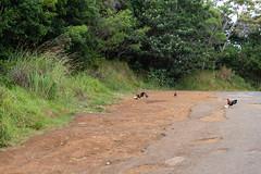 Wilde Hühner auf Kauai Hawaii