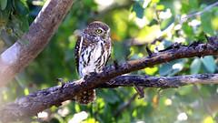 Pearl-spotted Owlet- Glaucidium perlatum