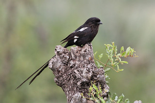 Magpie shrike, Urolestes melanoleucus, at Kruger National Park