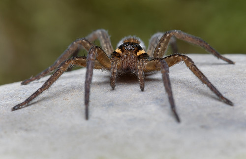 Six-spotted Fishing Spider - Dolomedes triton