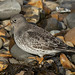 Purple Sandpiper  by Frank Gardiner- No Awards Please-Comments Welcome