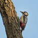 Great spotted woodpecker by JS_71