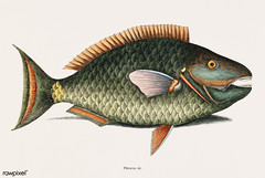Parrot Fish (Psittacus Piscis Viridis) from The natural history of Carolina, Florida, and the Bahama Islands (1754) by Mark Catesby (1683-1749).