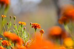 Orange gerbera ornamental flowers in early autumn