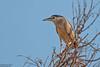 Black-crowned Night Heron, Nycticorax nycticorax by Kevin B Agar