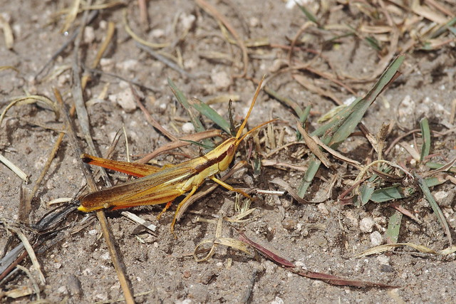 Toothpick Grasshopper, Canon EOS 7D, Canon EF 200mm f/2.8L II