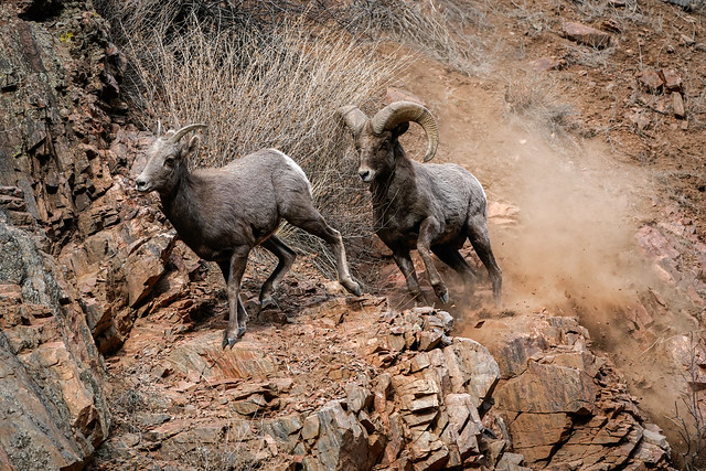 Mating Behavior - Bighorn Sheep[Explored]