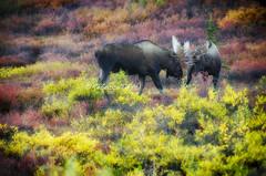 Bull Moose Fighting '18