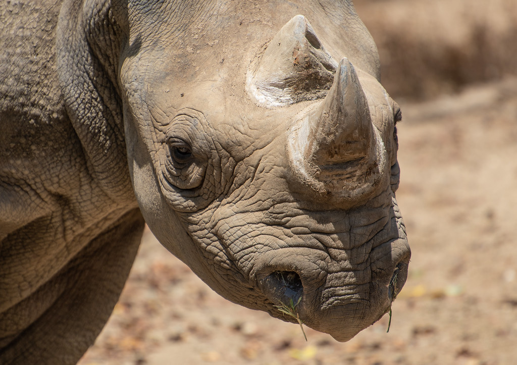 Black Rhino_4