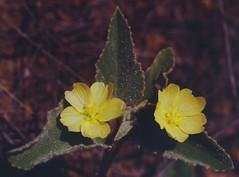 Sida pleiantha?, Emerald, QLD, 24/11/01
