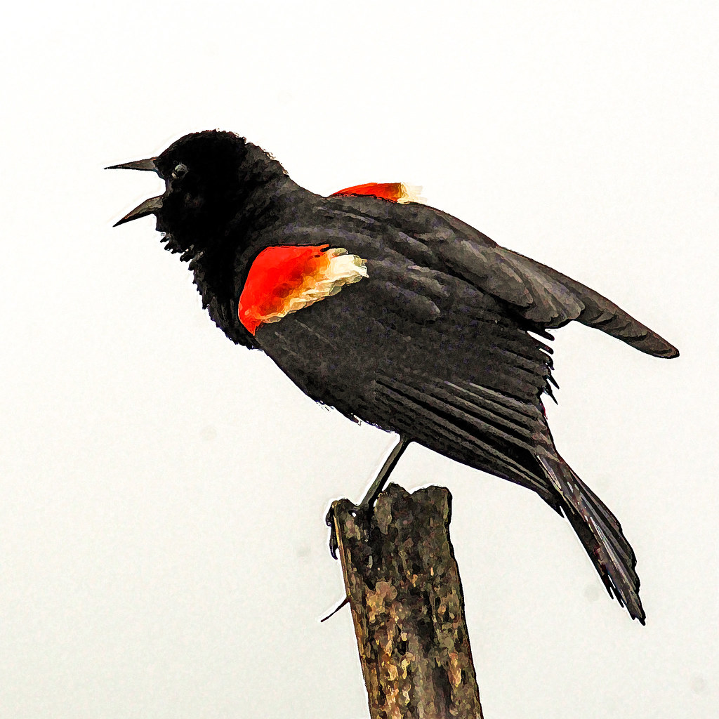 2018.07.01 Sweetwater Wetlands Red-winged Blackbird 3 Art tree