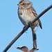 WAS_2937 American Tree Sparrow