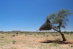 Weaver Birds' nest