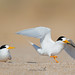 Fairy Terns are in Town by shelley90