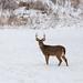 Buck at Cahokia Mounds