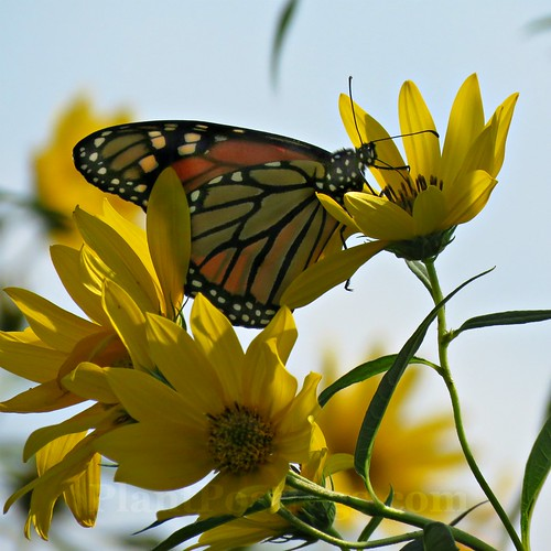 monarch & sunflowers