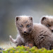 Arctic foxes playing by Gudmann