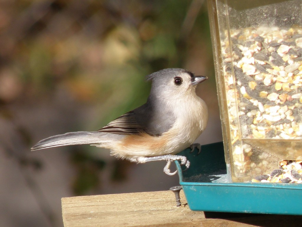 PB077769...Tufted Titmouse / Northern