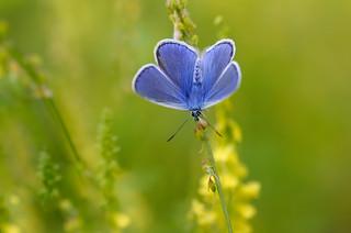 DSC_2294_DxO Azuré papillon