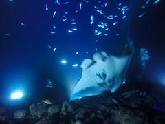 Manta dive Big island, Hawaii