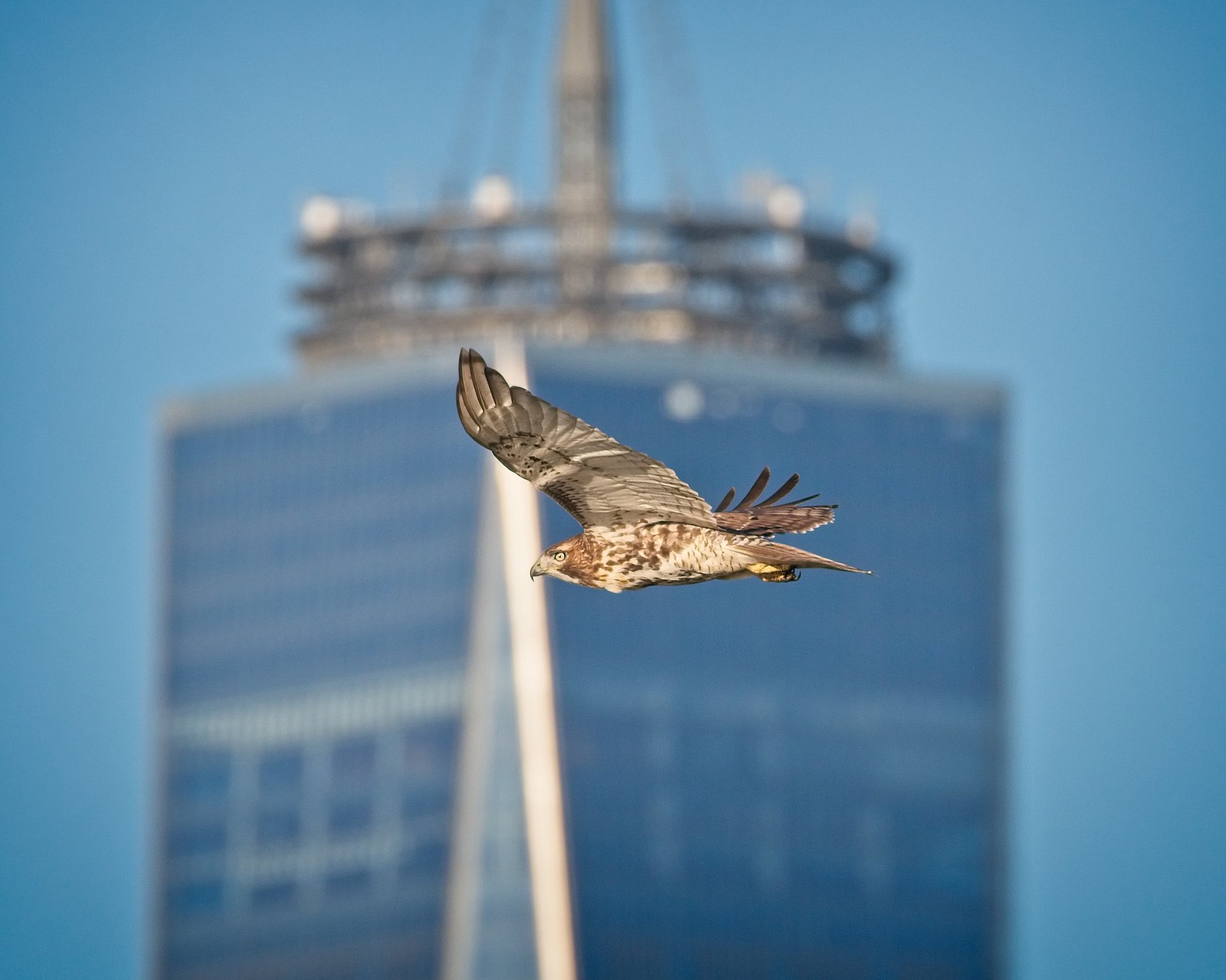 Red-tailed hawk flying past the World Trade Center