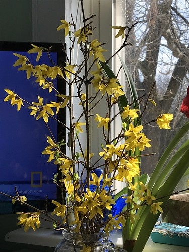 forcing forsythia blossoms